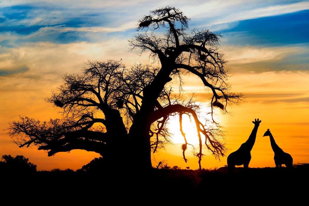 Ηλιοβασίλεμα με καμηλοπαρδάλεις στη Νότια Αφρική